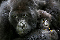 A female mountain gorilla engulfs her three month-old infant in an embrace in the jungle of Rwanda's Virunga Mountains.