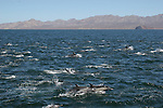 Common dolphins in Gulf of California