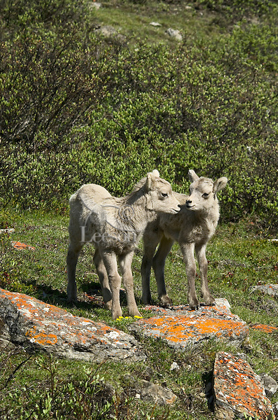 Bighorn Sheep or Mountain Sheep (Ovis canadensis) lambs.  Northern Rockies.  June.