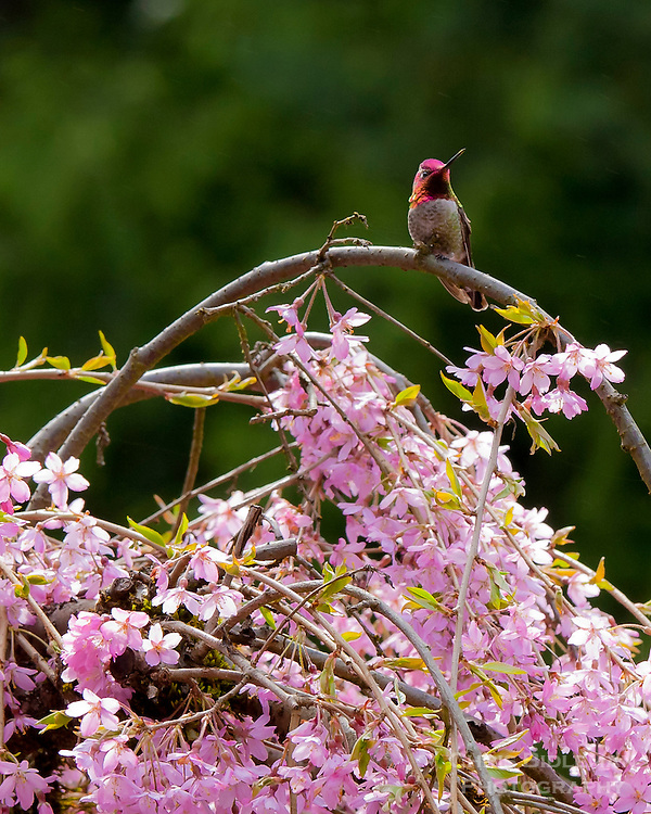 Annas Hummingbird sitting on cherry tree branch showing cherry blossoms in early Spring at the Portland Japanese Garden in Portland, OR
