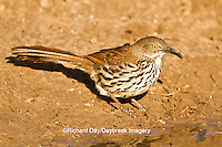 01401-00204 Long-billed Thrasher (Toxostoma longirostre) at water Starr Co., TX