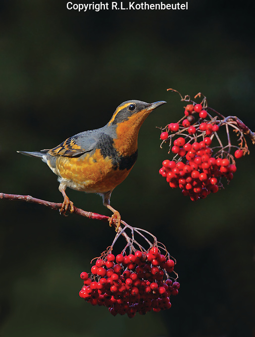 A male varied thrush feeds on the barries of a mountain ash tree.<br />