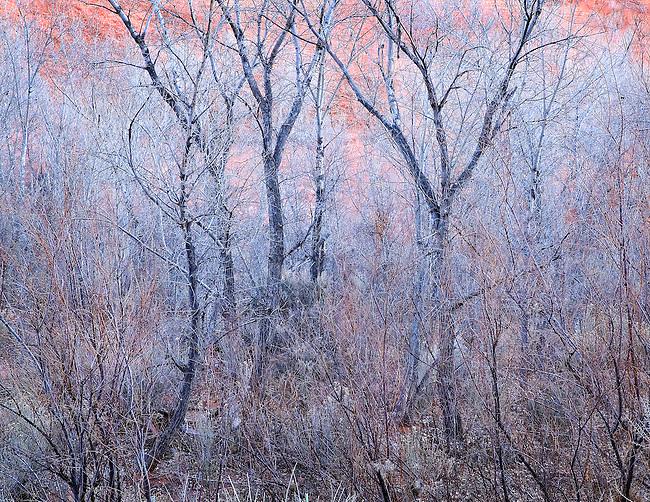 Last Evening Light on Cottonwood Trees in Long Canyon, Boulder, Utah