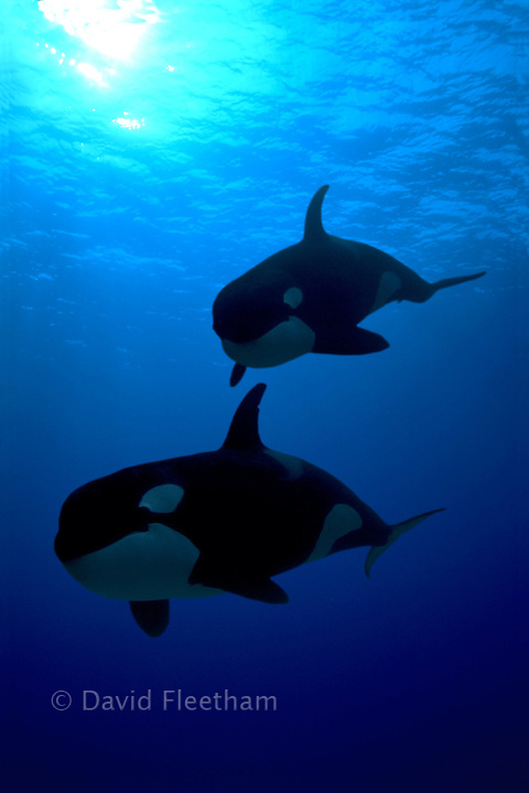 These killer whales were photographed underwater in British Columbia, Canada and then digitally added to a blue water background with a computer.