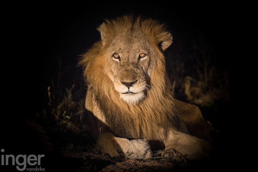 Male Lion at Night in the Timbavati, South Africa