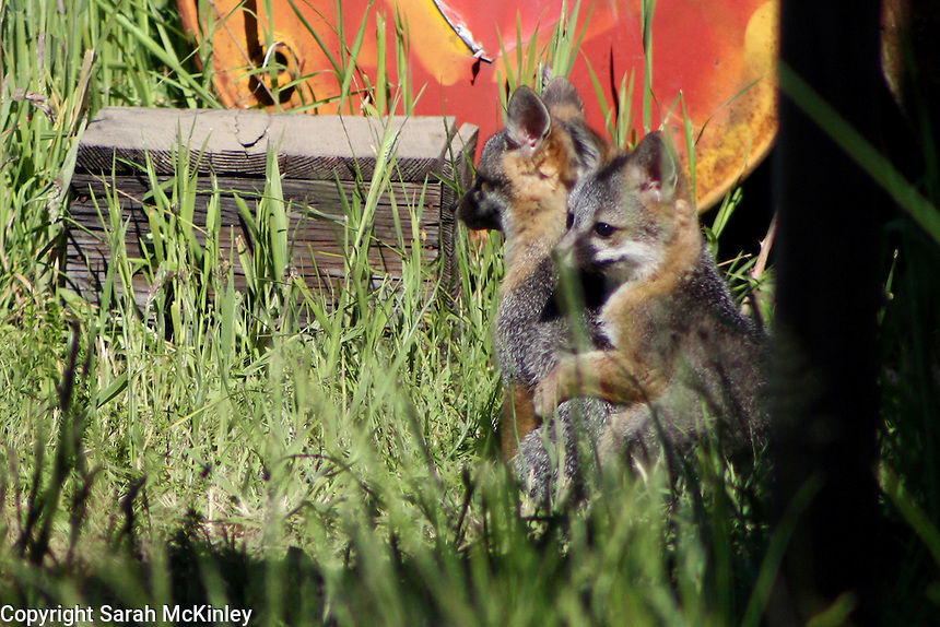 A fox kit is joined by its sibling in the morning outside Willits in Mendocino County in Northern California