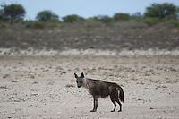 Sick Brown hyeana in Kalahari Pan