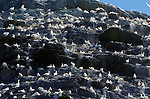A colony of Ganets pictured nesting on Little Skellig  off the Kerry Coast.<br /> Picture by Don MacMonagle