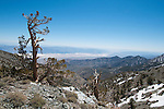 Bristlecone pine, Pinus longaeva, and view of Death Valley from the Telescope Peak Trail in Death Valley National Park, California