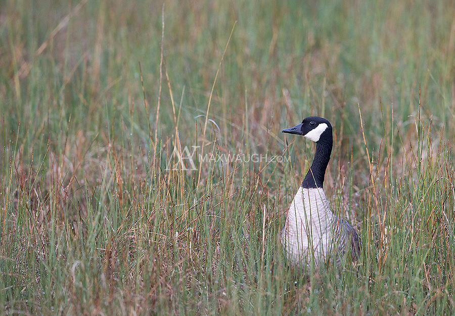 Perhaps the most common bird at Market Lake, the Canada goose.