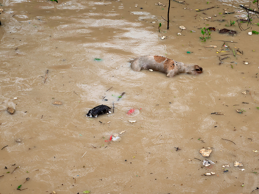 A dead Dog and other animals floating in the Yangon River,Yangon, Myanmar, Burma,