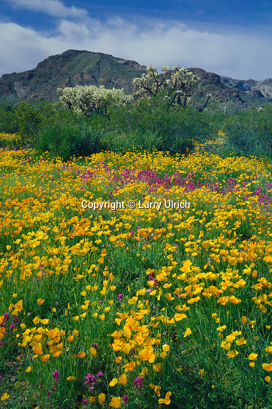 Mexican poppies and red owl's-clover<br />