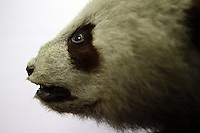 A stuffed Giant Panda in an exhibit at the Chengdu Panda Breeding Center, in south-west China.