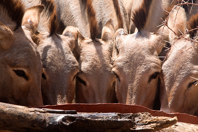 .Donkeys desperate to drink, crowd their way in to a man-made trough from water bucketed out of a hole dug deep in the Ewaso Nyiro riverbed..A result of the worst drought (2008-2009)  in more than a decade.