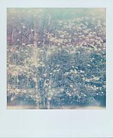 Dogwood Tree, 2019, Yosemite, CA  Polaroid taken with SX-70