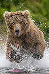 Brown bear chases salmon, Katmai National Park, Alaska