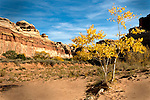 A small cottonwood shows off it's fall foliage in the wide bottom of Horse Canyon. <br /> Canyonlands National Park, Utah
