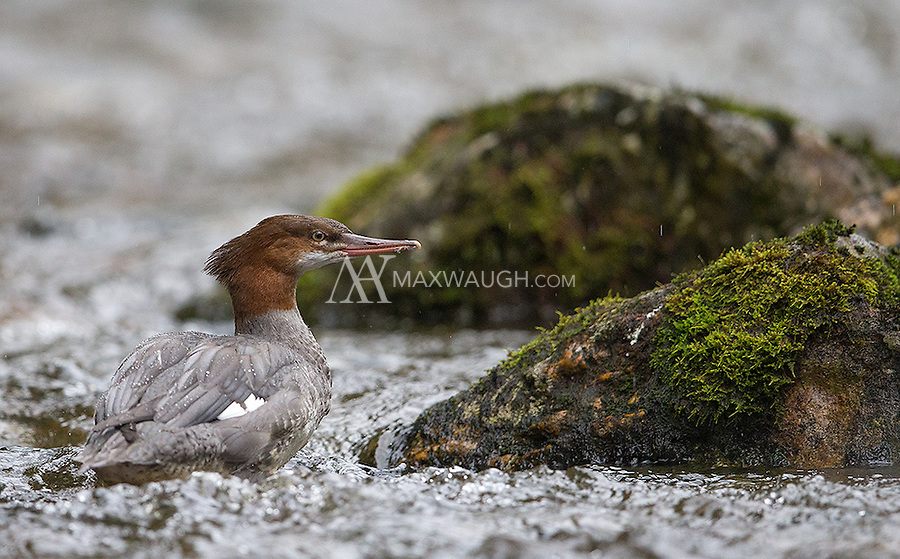 Common mergansers raise their families along Canada's coastal waters.