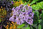 Cannaceae - Blumenrohrgewächse
