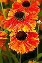 Helenium 'Sahin's Early Flowerer', early August. In spite of its name, it may in fact flower from July right through until November.