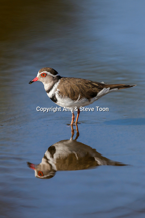 Three-banded plover (Charadrius tricollaris), Kruger national park, South Africa, May 2017
