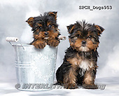 Xavier, ANIMALS, REALISTISCHE TIERE, ANIMALES REALISTICOS, dogs, photos+++++,SPCHDOGS953,#a#