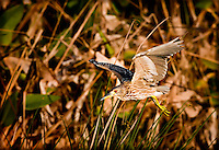 Juvenile Black-Crowned Night Heron in flight in wetlands, flying over vegetation
