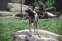 African Wild Dog, Denver Zoo