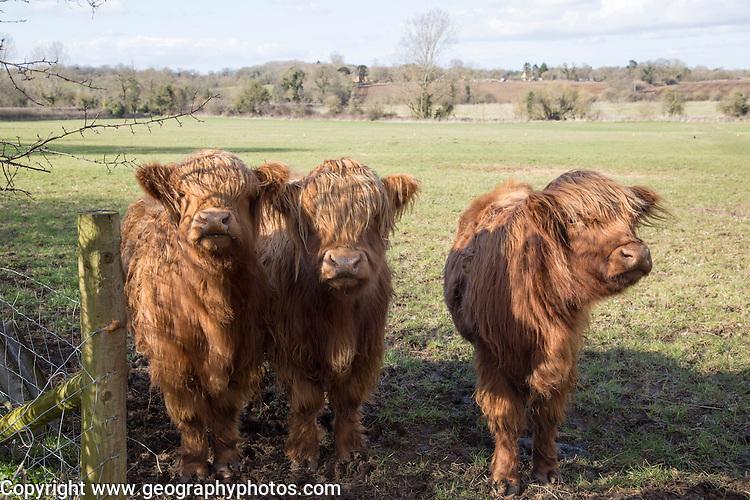 Highland cattle calves in field, Compton Bassett, Wiltshire, England, UK