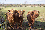 Highland cattle calves in field, Compton Bassett, Wiltshire, England, UK