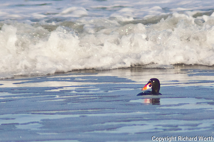 The multicolored bill of the surf scoter identifies this bird playing in the surf at Pomponio State Beach.