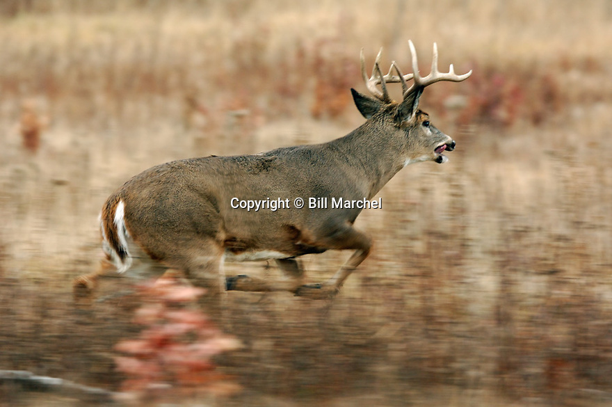 00274-317.02 White-tailed Deer Buck (DIGITAL) with 10 pt. antlers is panting as it is chasing unseen doe in overgrown clearcut.  H6R1