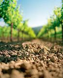 USA, California, row of vines at Spottswoode Vineyard, Napa