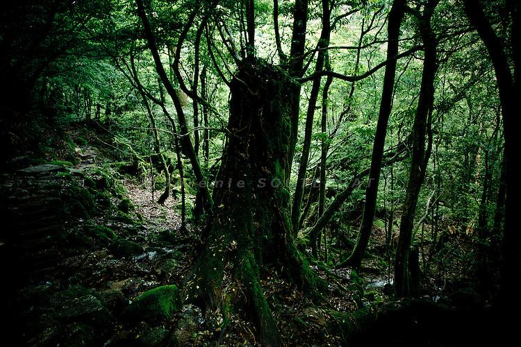 "Yakushima, June 2011 - On the way for ""Mononoke forest"", which inspired Miyazaki for its animated film ""Princess Mononoke""."