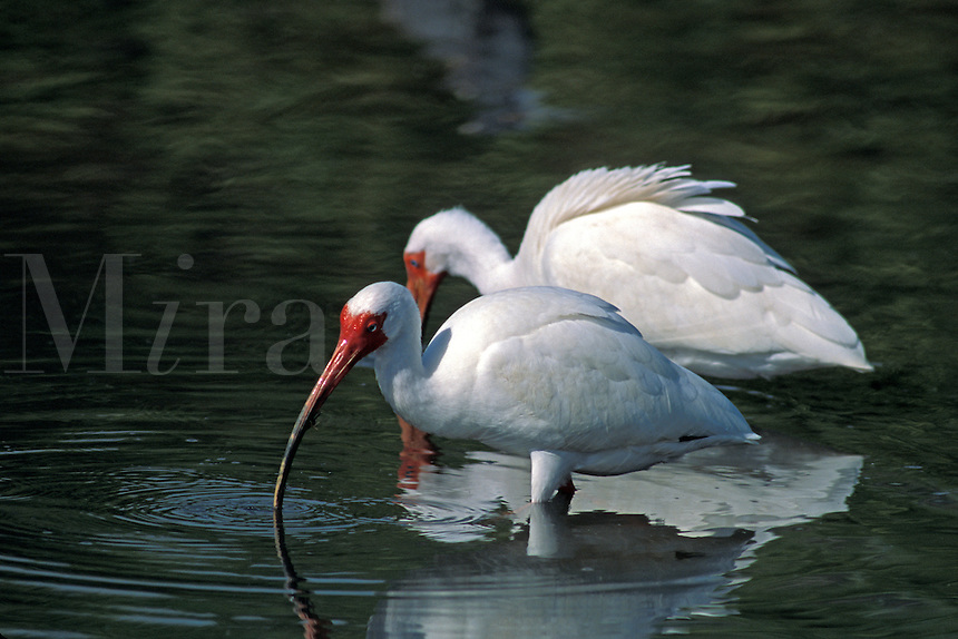 White Ibis (Eudocimus albus) fishing, scavenging, south Florida