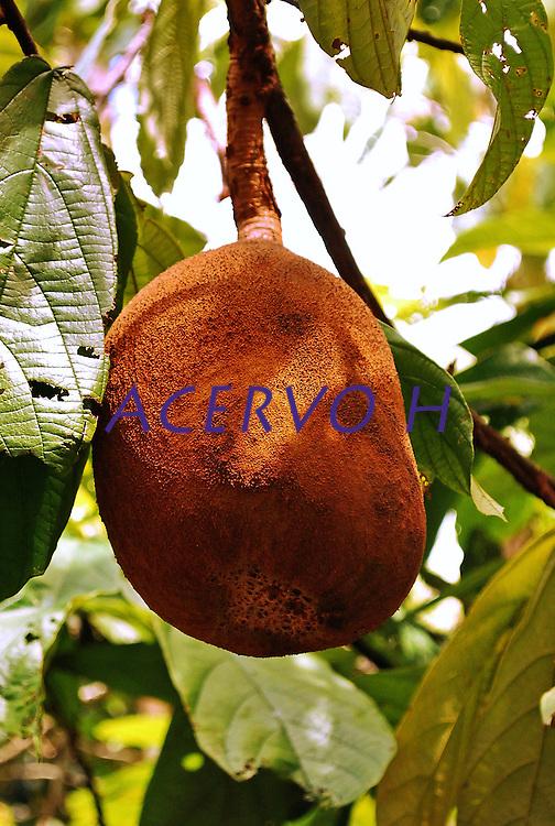 Cupuaçu é o fruto de uma árvore originária da Amazônia (Theobroma grandiflorum; ex - Sterculiaceae), parente próxima do cacaueiro. A árvore é conhecida como cupuaçuzeiro, cupuaçueiro ou cupu, é uma fruta extremamente saborosa típica da região norte brasileira, muito encontrada no estado do Pará e Amazonas. É muito usado na culinária doce, azeda e agridoce pelas populações tradicionais da Amazônia.<br /> <br /> Pará, Brasil.<br /> Foto Mário Guerrero<br /> 2010