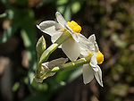 Narcissus flowers in bloom (China lily), Ellis Ranch, Amador County, Calif.