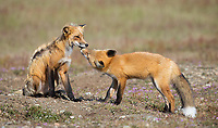 A kit begs for food from its parent.