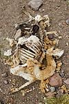 Vicuna (Vicugna vicugna) killed by Mountain Lion (Puma concolor), Abra Granada, Andes, northwestern Argentina