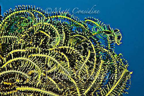 Crinoid (Sea Fan) filter feeding in the clear waters around Yap, Micronesia (Photo by Matt Considine - Images of Asia Collection) (Matt Considine)