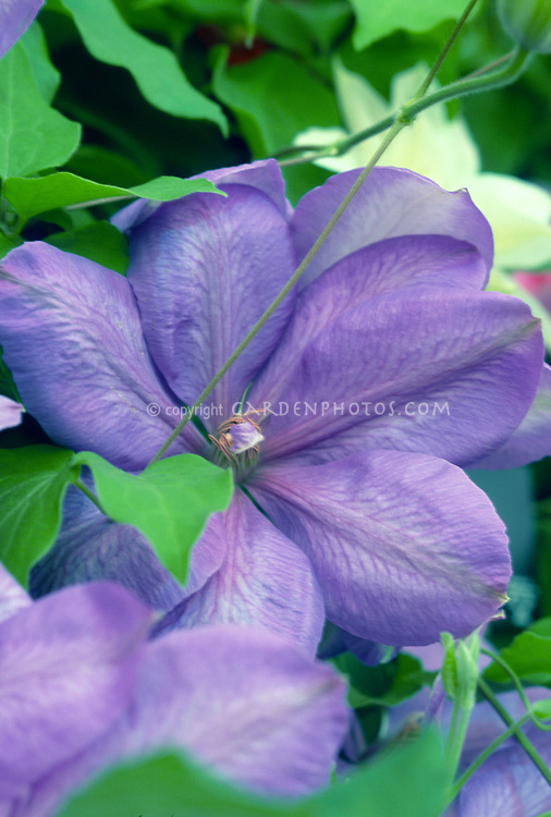 Clematis 'Mrs Cholmondeley' mauve blue famous flowering vine that blooms all summer