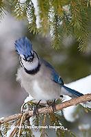 01288-05706 Blue Jay (Cyanocitta cristata) in spruce tree in winter, Marion Co., IL