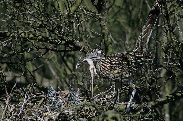 Greater Roadrunner, Geococcyx californianus,adult feeding young in Paloverde (Parkinsonia texana) , Starr County, Rio Grande Valley, Texas, USA