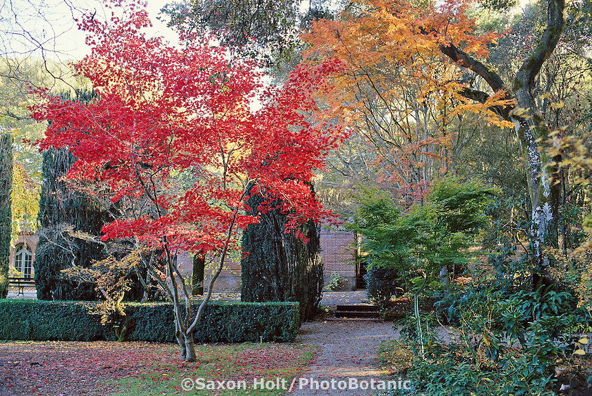 Japanese maple tree, Acer palmatum in Filoli garden, California