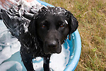 Black Labrador retriever (AKC) getting a bath in a kiddy pool.  Summer. Winter, WI.