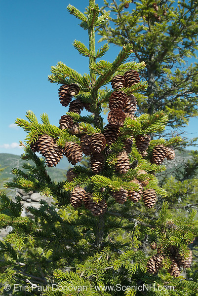 Red Spruce (Picea rubens) tree on Eastman Mountain in the White Mountains, New Hampshire , which is part of New England  USA during the spring months.Notes: Red spruce is used for Christmas trees