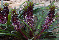 Black flowers of Eucomis vandermerwei 'Octopus' aka 'Octopusoides' spotted leaves