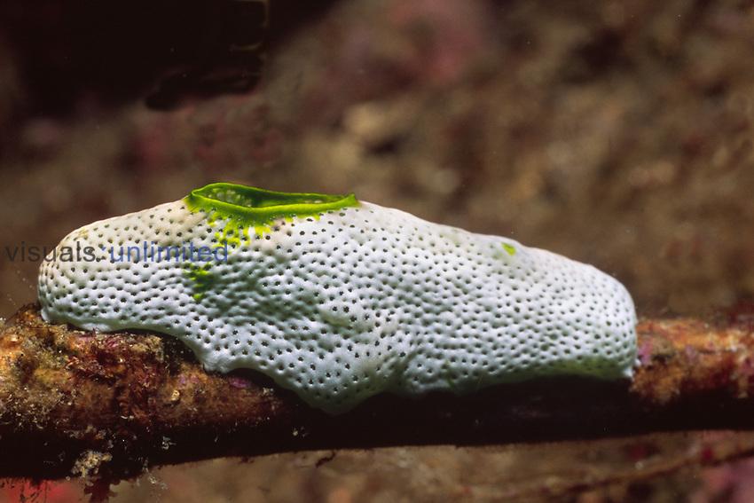 Tunicate or Sea Squirt (Didemnum molle), Solomon Islands