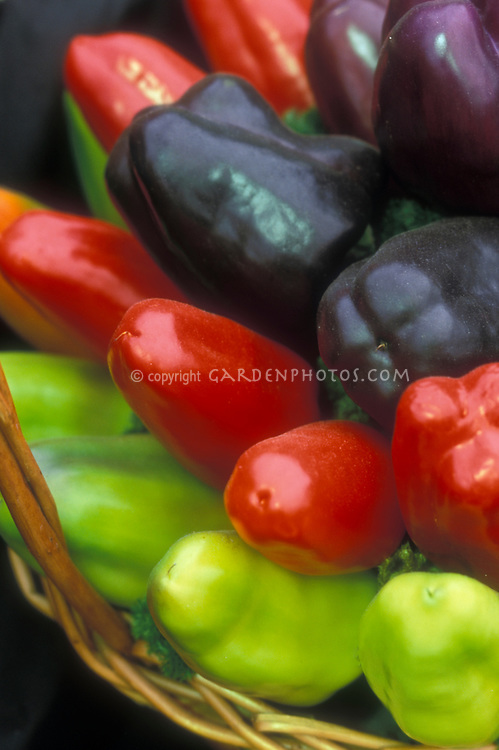 Peppers Gypsy heirloom vegetables, sweet peppers, antique variety, mixed colors, green, red, purple