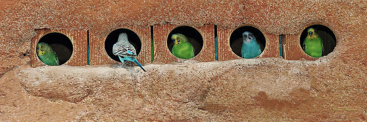 Colorful Parakeets in a row of nesting boxes.